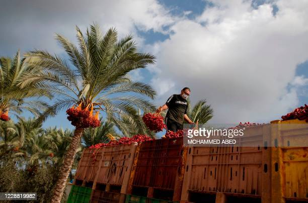 Palestinian man wearing a protective mask due to the COVID-19 coronavirus pandemic fills crates with dates during the annual harvest season in a palm...