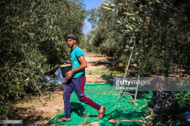 Palestinian men pick olives from an olive tree in the town of Al-Zawaideh in the central Gaza Strip. Palestinian farmers began to harvest olives at...