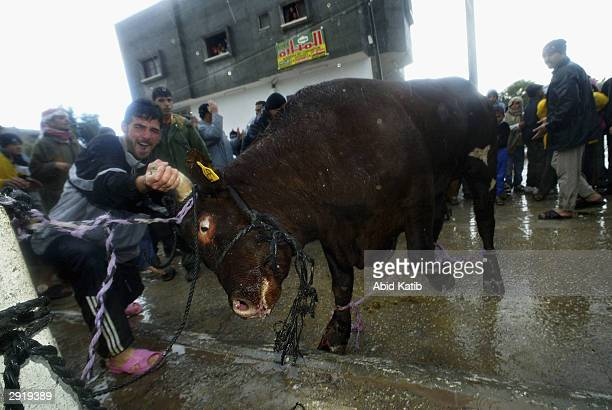 Palestinian muslims try to control a cow to make it ready for slaughter on the first day of the Muslim holiday of Eid al-Adha February 1 in the Rafah...