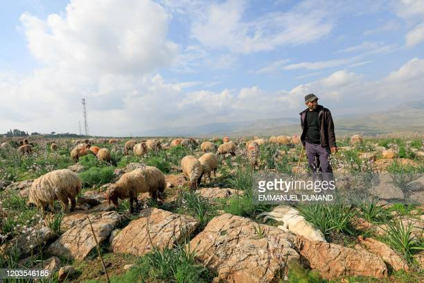 Palestinian shepherd Fawzy Daraghmeh herds his flock of sheep at an area designated as military zone in Um Zuka town, north of the Jordan Valley, on...
