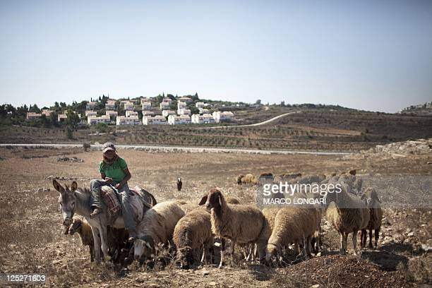 A Palestinian shepherd leads his flock near the Jewish settlement of Halamish on the outskirts of the West Bank village of Nabi Saleh on September 16...
