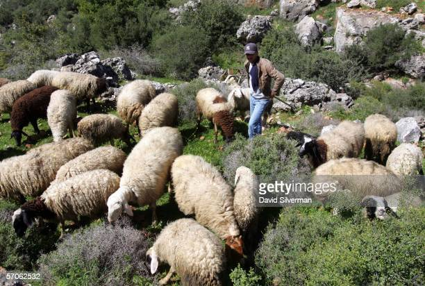 Palestinian shepherd Maen Bashir, 20-years-old, tends his flock as they graze in a valley March 12, 2006 near the West Bank Israeli settlement of...