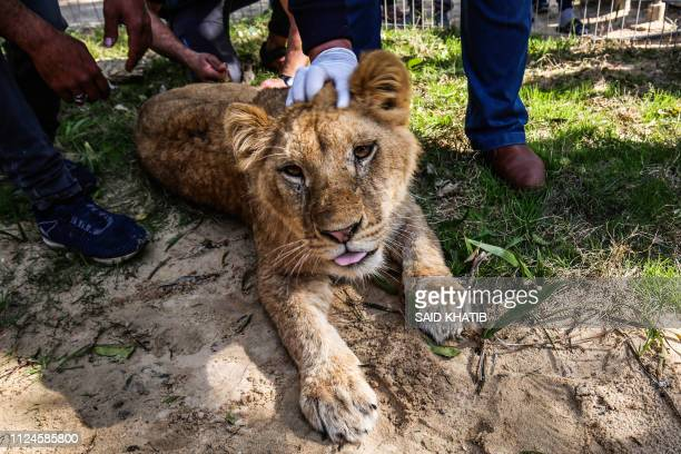 A Palestinian veterinarian holds down the head of the lioness Falestine after being declawed at the Rafah Zoo in the southern Gaza Strip on February...