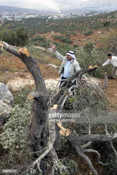 Palestinian villager complains as he stands next to an olive tree which he claims was chopped down by settlers in the West Bank village of Salem 19...