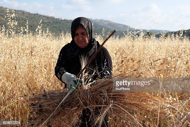 Palestinian woman cleans wheat from soil after being harvested in her land in Sawyiah village South of Nablus city of the West Bank on May 31 2015...