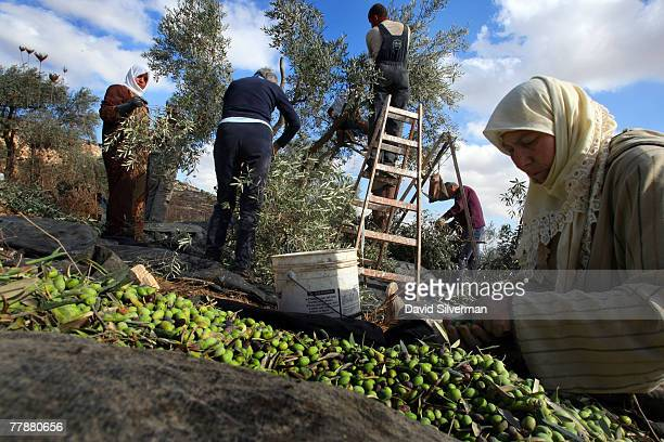 Palestinian woman Nihad Oudi aged 57 sorts through picked olives as her family with the help of leftwing Israeli and foreign volunteers harvest their...