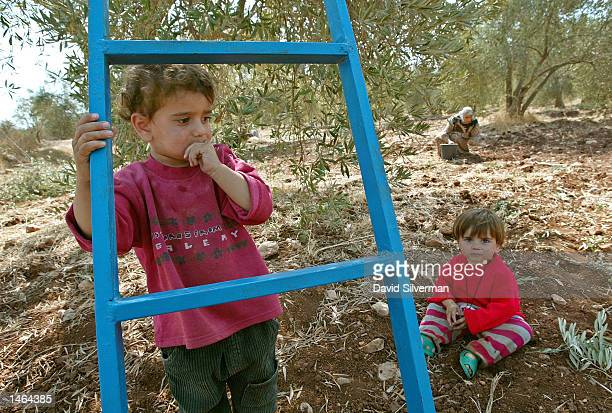 Palestinian woman Sana'a Kawarik collects fallen olives in the background close to her 30monthold daughter Raniya and her 18monthold niece Hiba as...