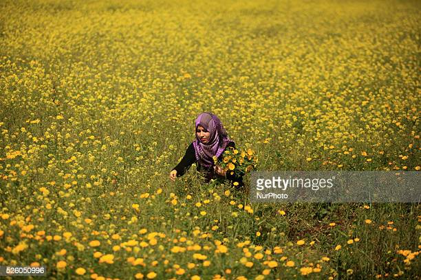 A Palestinian woman seen amongst wild mustard flowers which grow in the untilled fields across the Gaza Strip on March 13 as the official start of...