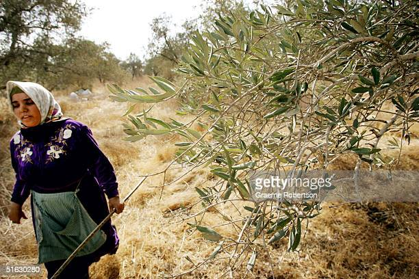 Palestinian women collect their olives from the families olive trees after being granted permission to cross the Israeli separation fence October 30...