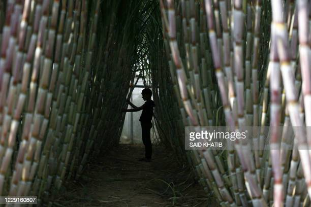 Palestinian worker checks the growth of the stalks at a sugar cane farm in the southern Gaza Strip city of Khan Yunis, on October 19, 2020.