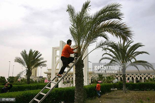 Palestinian worker prunes a palm tree outside the Yasser Arafat International Airport 29 April 2006 Not only have no planes landed for more than five...