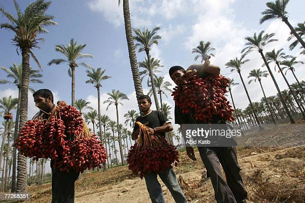 Palestinian workers gather fruits harvested from the top of date palm trees on October 10 2007 in the Deir elBalah town in the central Gaza Strip