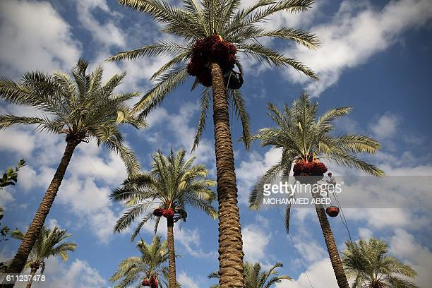 Date Palm Tree Stock Photos And Pictures