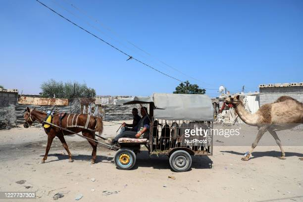 Palestinians ride a horse-drawn cart transporting Sheep ahead of the Eid al-Adha festival, in Khan Younis in the southern Gaza Strip on July 22, 2020.