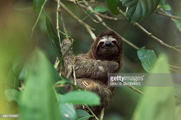 Palethroated sloth Bradypodidae Cahuita National Park Costa Rica
