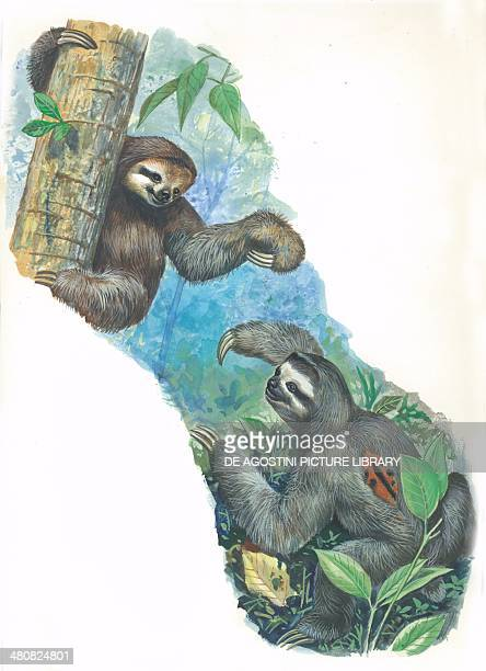 Palethroated sloth illustration