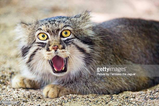 Pallas cat with big eyes