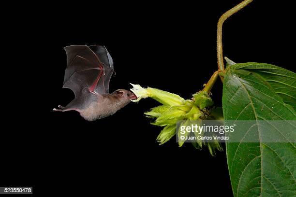 Pallas Long-tongue Bat feeding