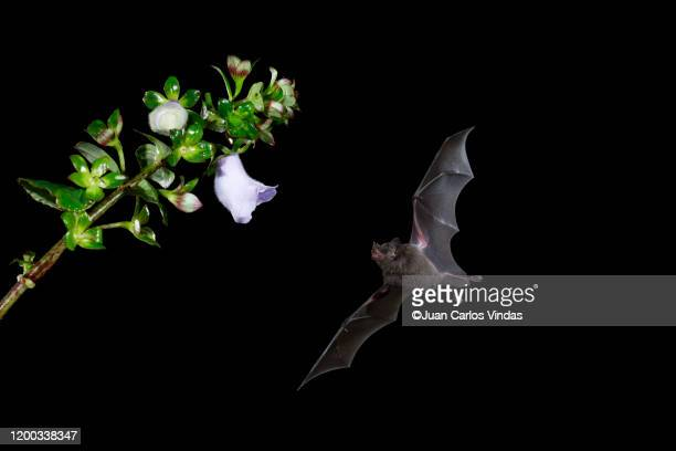 pallas's long-tongued bat (glossophaga soricina) - mammal stock pictures, royalty-free photos & images