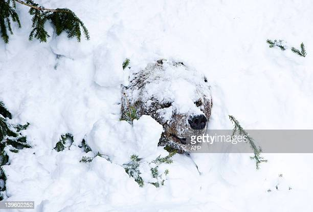 Palle-Jooseppi, a male brown bear of Ranua Zoo, begins to wake up after winter hibernation in Ranua on February 23, 2012. Aftershort stroll...