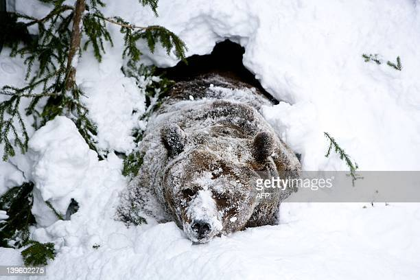 Palle-Jooseppi, a male brown bear of Ranua Zoo, wakes up after winter hibernation in Ranua on February 23, 2012. AFP PHOTO / LEHTIKUVA / Kaisa Siren