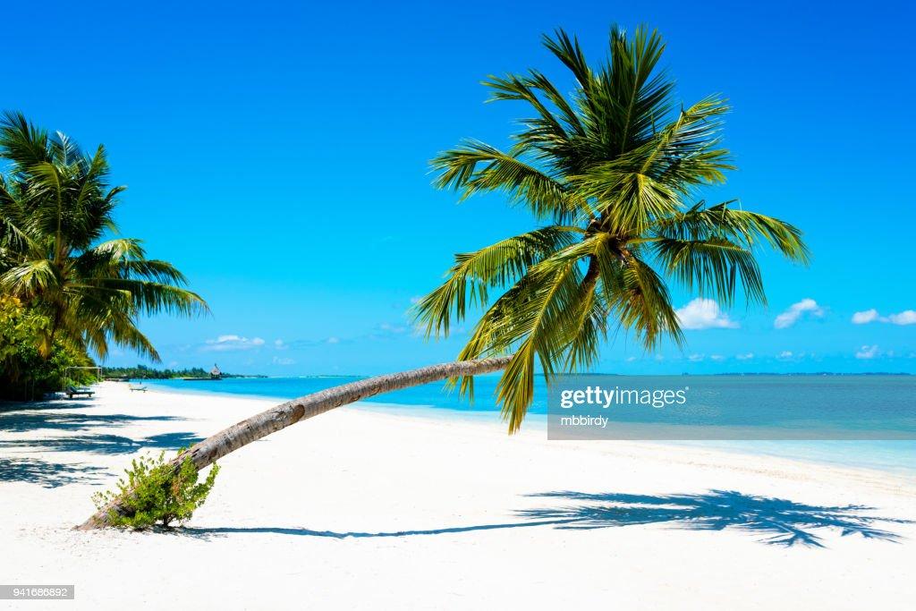 Palm At Tropical Paradise Beach At Canareef Resort Maldives