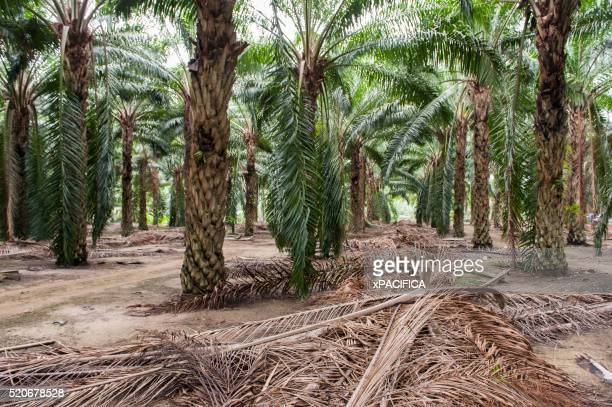 Palm branches and rows of palm trees at a Palm plantation farm
