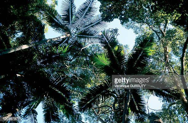 Palm foliage in Fraser island Australia