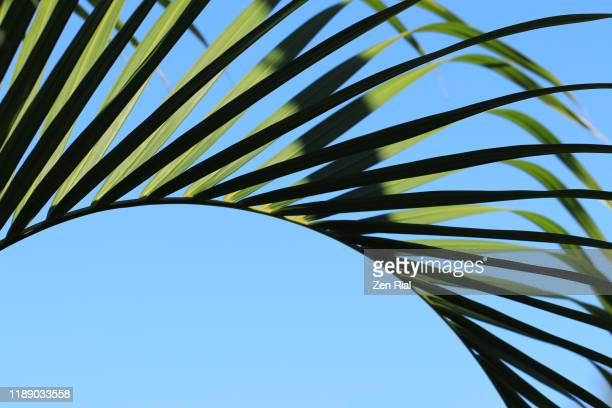 palm frond against blue sky 1 - chlorophyll stock pictures, royalty-free photos & images