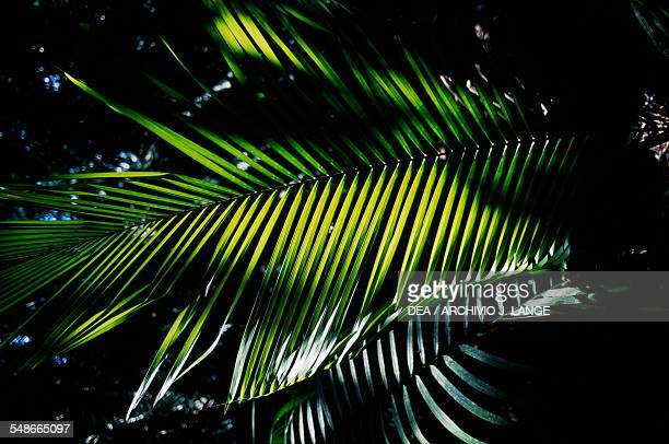 Palm frond in the forest near the Mayan site of Kohunlich Quintana Roo Mexico