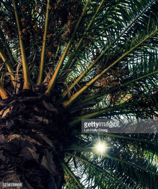 palm fronds seen from below and defocussed light - lyn holly coorg fotografías e imágenes de stock