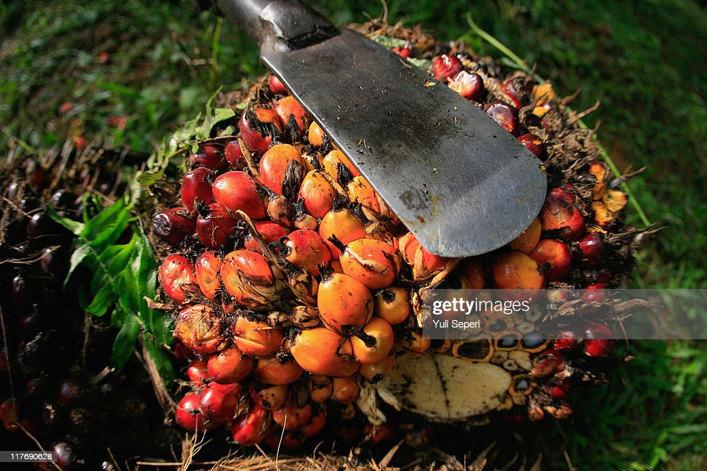 Palm fruit which will be sent to the palm oil mills to Crude Palm Oil (CPO) are seen on June 24, 2011 in Bintan, Indonesia. on June 24, 2011 in Bintan Island, Indonesia. Indonesia will adjust it's palm oil export tax in July to 20 percent from 17.5 percent in June in an effort to slow down a massive rush to export the product as world demand increases. Indonesia is the top producer of palm oil in the world ahead of Malaysia and will produce over 21 million tonnes of palm oil this year.