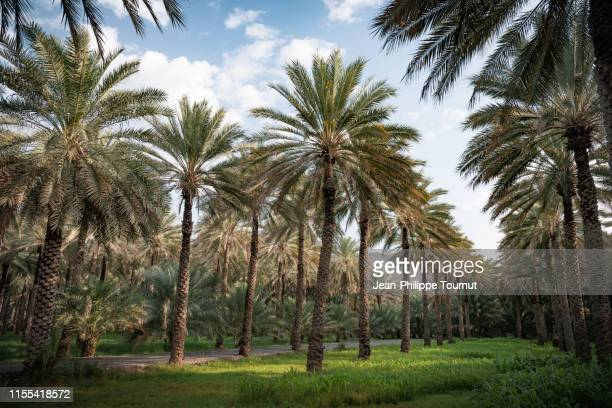 palm grove in the sultanate of oman, arabian peninsula - tall high stock pictures, royalty-free photos & images
