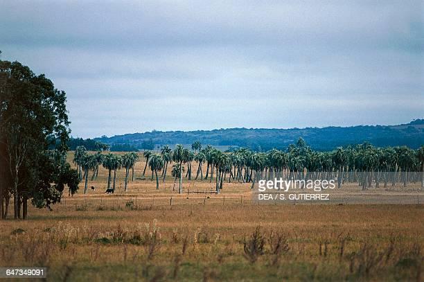Palm grove near Rocha Uruguay