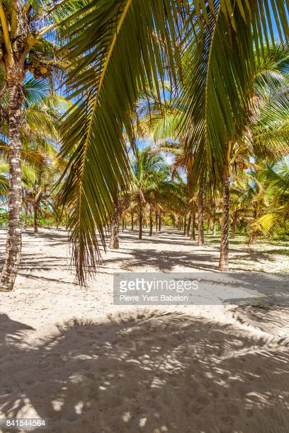 palm grove plantation - pierre yves babelon madagascar stock pictures, royalty-free photos & images