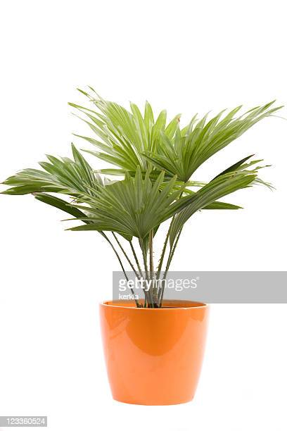 palm in a flowerpot - flower pot stock pictures, royalty-free photos & images