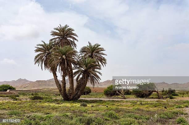 Palm in  Boavista Island in Cape Verde Island