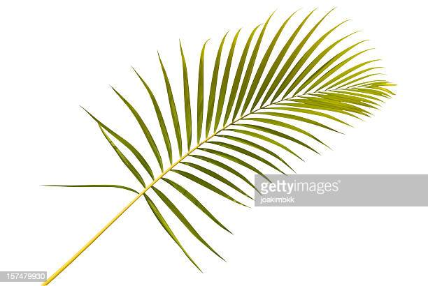 Palm leaf against white background