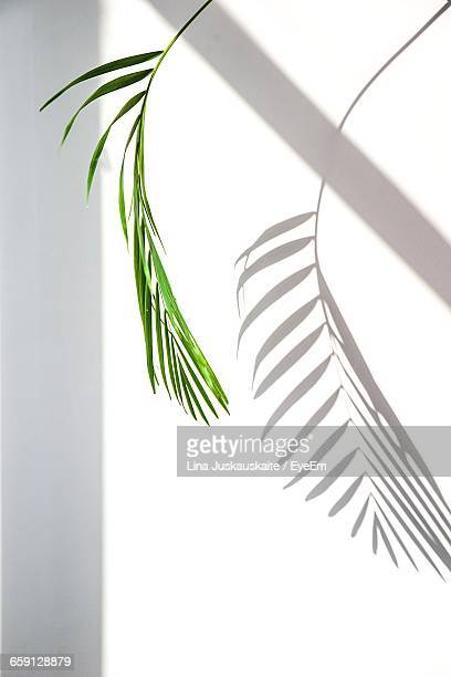 palm leaf against white background - schaduw stockfoto's en -beelden