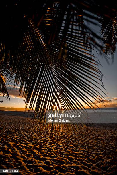 Palm leaf hanging down in front of sunset on beach.