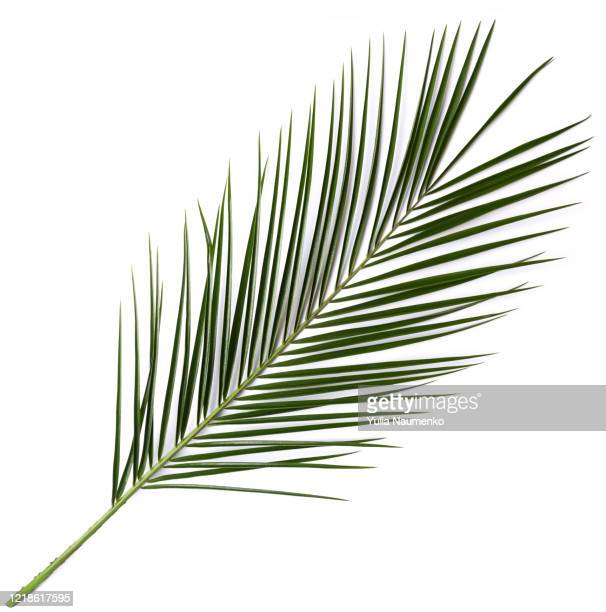 palm leaf on white background. summer concept. flat lay, top view, copy space. - tropical bush stock pictures, royalty-free photos & images
