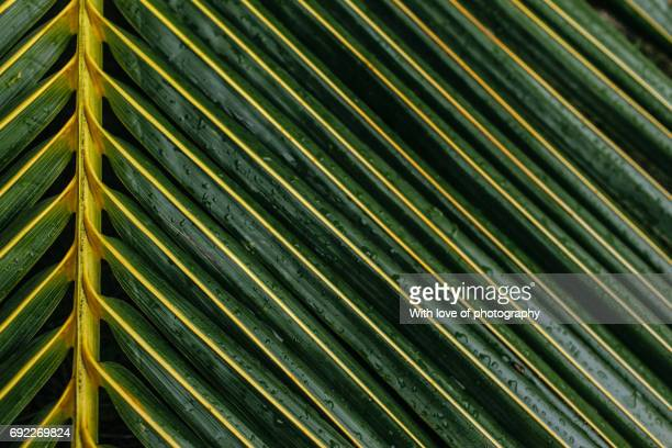 Palm leaf pattern, green tropical plant background, palm leaf texture close up