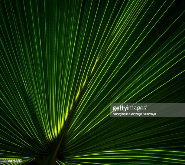 palm leaf - intricacy stock pictures, royalty-free photos & images
