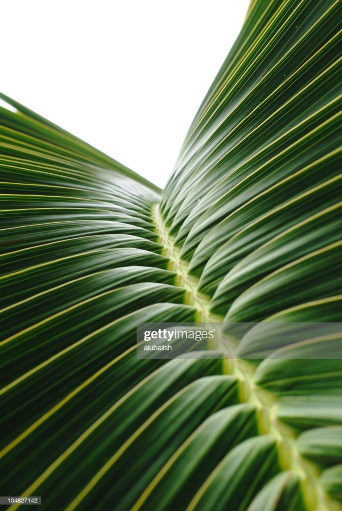 Feuille de palmier : Photo