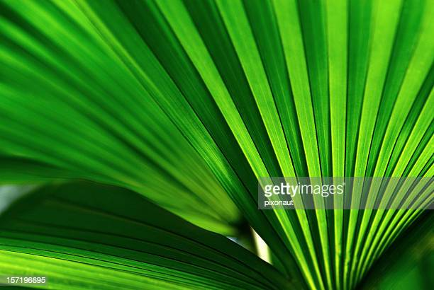 palm leaf - palm leaf stock pictures, royalty-free photos & images