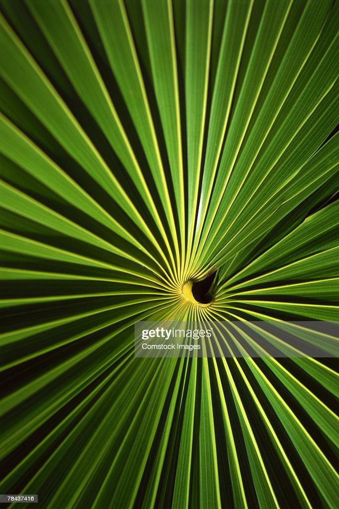 Palm leaf : Stockfoto