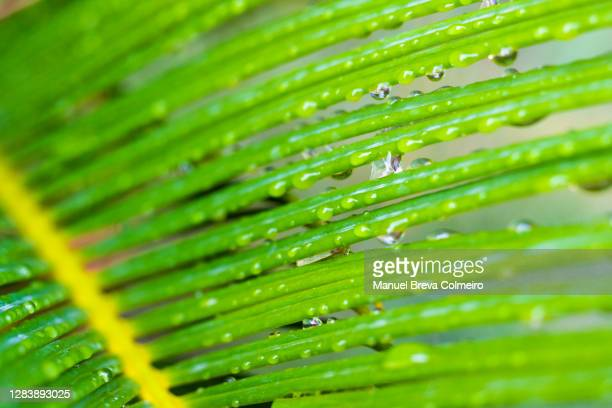 palm leaf with drops - benicassim stock pictures, royalty-free photos & images