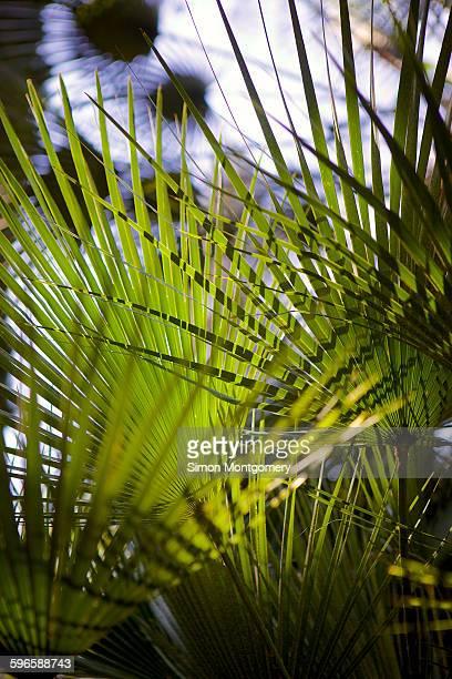 Palm leafs, Lopud island, South Dalmatia, near Dub