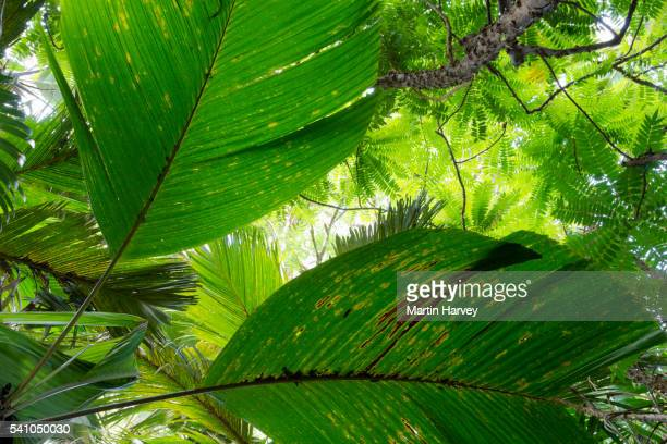 Palm leaves from Palms in the Valle'e De Mai palm forest in Praslin which is a world heritage site.P