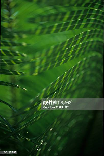Palm Leaves In Brazzaville Congo
